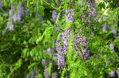 Wisteria. Yard long summer flowering trees, wisteria tree flowers pass a string of neighbors Stock Photos