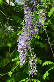 Wisteria. Yard long summer flowering trees, wisteria tree flowers pass a string of neighbors Royalty Free Stock Photos