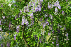 Wisteria. Yard long summer flowering trees, wisteria tree flowers pass a string of neighbors Stock Image