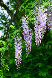 Wisteria. Yard long summer flowering trees, wisteria tree flowers pass a string of neighbors Royalty Free Stock Images