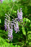 Wisteria. Yard long summer flowering trees, wisteria tree flowers pass a string of neighbors Royalty Free Stock Photo