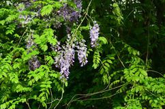 Wisteria. Yard long summer flowering trees, wisteria tree flowers pass a string of neighbors Royalty Free Stock Photography