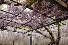 Wisteriabloemen die van een latwerk hangen stock fotografie