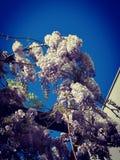 Wisteriabloemen tegen blauwe hemel stock afbeelding