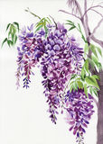 Wisteriafilialer royaltyfri illustrationer
