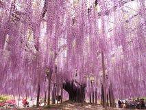 Wisterialatwerk van Ashikaga-Bloempark, Tochigi, Japan Stock Foto