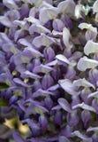 Wisteriasinensis royalty-vrije stock foto