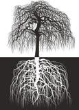 Wisteriaträdet tillsammans med rotar Arkivfoto