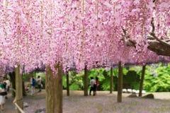 Wisteriatunnelen, den fantastical världen av wisteriaen blommar mycket Royaltyfri Bild