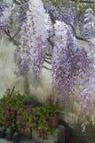 Wisteriaväxten i en gammal borggård med annan blommar Royaltyfri Fotografi