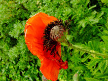 Wistful κόκκινο λουλούδι Στοκ Φωτογραφίες