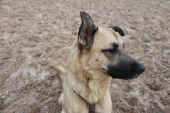 Wistful σκυλί στοκ φωτογραφίες με δικαίωμα ελεύθερης χρήσης