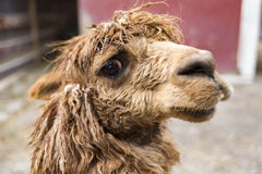 Wistful Alpaca. An alpaca looks back into the camera with a wistful expression on its face Stock Photo