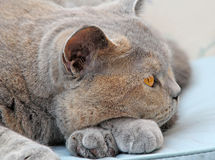 Wistful pedigree cat pose Stock Images