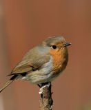 Wistful Robin on orange background Royalty Free Stock Image