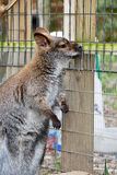 Wistful Wallaby Stock Image