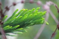 Wistling växt Royaltyfri Foto