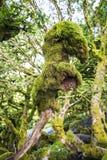 Wistman在Dartmoor,英国的` s木头的树妖怪 库存图片