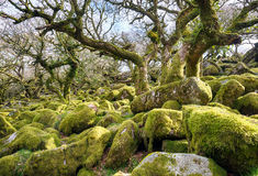 Wistman's Wood on Dartmoor. Ancient gnarled and stunted oak tree trunks growing out of mossy boulders in the famous Wistman's Wood a remote high altitude oakwood Stock Image