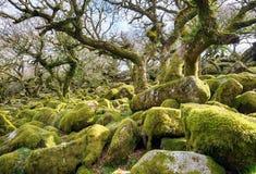 Wistmans Holz auf Dartmoor Stockbild