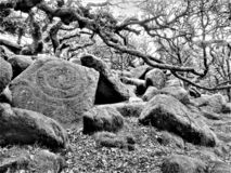 Wistmans wood in Devon - the druid`s stone?. Famously spooky and mysterious woodland where boulders and ancient oaks live tangled together.  It is said that it stock image