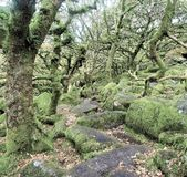 Wistmans wood in Devon - the most haunted?. Famously spooky and mysterious woodland where boulders and ancient oaks live tangled together. It is said that it was stock photo