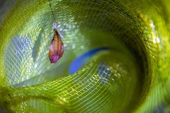 Wisząca motylia larwa przygotowywająca uzupełniać metamorfizację, wiesza Fotografia Royalty Free