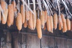 Wiszące kukurudze przed średniorolną budą, selekcyjną ostrością/ Zdjęcie Stock