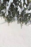 Wiszące tuj gałąź zakrywać z śniegiem zdjęcia stock