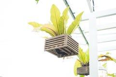 Wiszący bird& x27; s gniazduje paproci z drewnianą wazą i ścinek ścieżką odizolowywa Zdjęcie Stock