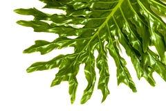 Wiszący filodendron rośliny zieleni liść Wyszczególnia wzory i Textu Fotografia Royalty Free