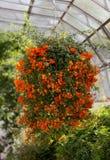 Wiszący grono pomarańczowi kwiaty fotografia stock