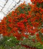 Wiszący grono pomarańczowi kwiaty zdjęcie royalty free