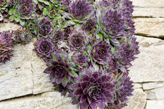 Wiszący kaktusów kwiaty obrazy royalty free