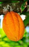 Wisząca kakaowa owoc Fotografia Stock
