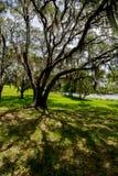 Wiszący mech od drzewa Fotografia Royalty Free