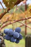 Wiszący winogrona Obrazy Stock