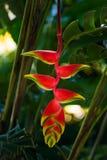 Wiszącego homara pazura Heliconia rostrata tropikalnego kwiatu zielonej rośliny jaskrawe czerwone żółte flory w Tobago Karaiby Fotografia Royalty Free
