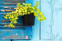 Wiszący flowerpot z zielonym bluszczem Fotografia Stock