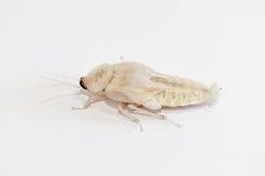 Wit afwerpend kakkerlakkenmannetje Stock Afbeelding