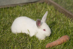 Wit albinokonijn Royalty-vrije Stock Afbeeldingen