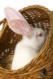 Wit albinokonijn in mand Stock Foto's
