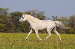 Wit Arabisch paard Stock Foto's