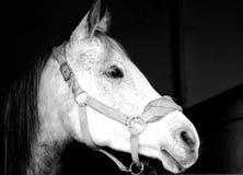 Wit Arabisch paard Stock Afbeelding