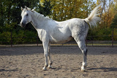 Wit Arabisch paard die zich in een paddock bevinden Stock Afbeeldingen