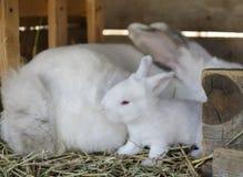 Wit babykonijntje Stock Fotografie