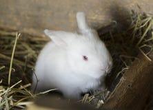 Wit babykonijntje Stock Afbeeldingen