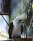 Wit-bekroond hornbill Stock Afbeelding