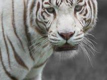 Wit Bengalen Stock Afbeeldingen