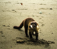 Wit-besnuffelde coati - Costa Rica Stock Foto